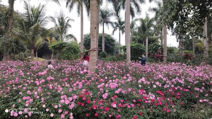 Hơn một triệu bông hồng nở hoa rực rỡ khắp Ecopark - 1