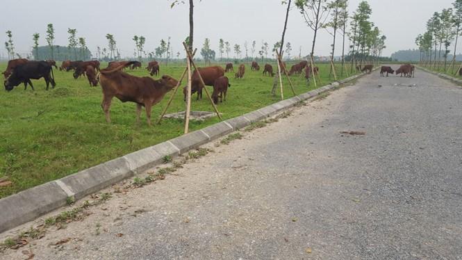 Sau nhiều năm, dự án khu đô thị mới AIC vẫn chỉ để chăn bò.