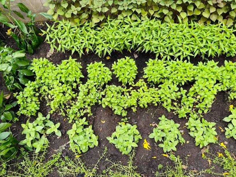 Nam ca sĩ tiết lộ nhờ chăm sóc kĩ lưỡng nên rau mọc lên rất nhanh và xanh mướt.