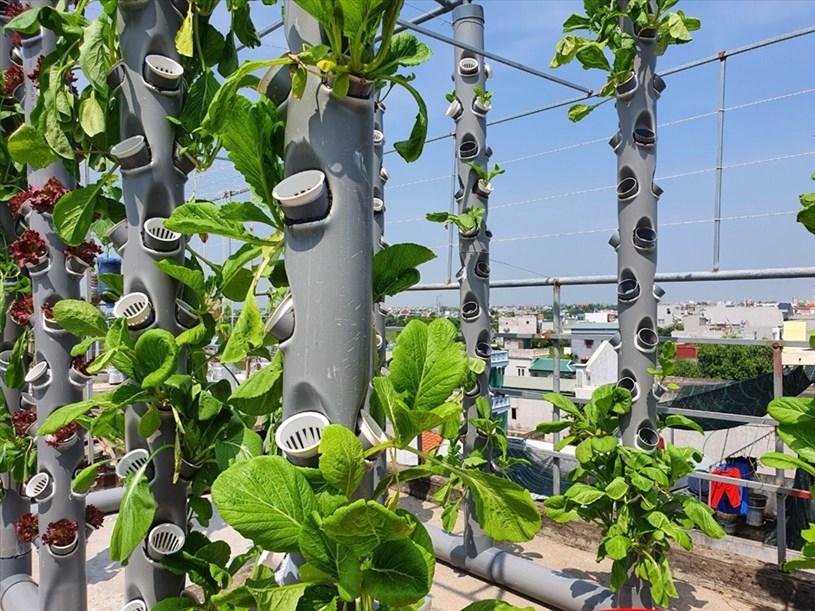 Với phương pháp thủy canh, nước từ thùng chứa được hẹn giờ tự động sẽ bơm trực tiếp lên trên cao rồi chảy ngược trở lại thùng, tạo thành một vòng khép kín. So với hình thức trồng thổ canh, thiết kế này giúp tiết kiệm nhiều thời gian, công sức mà vẫn đảm bảo nguồn nước dồi dào cho cây.