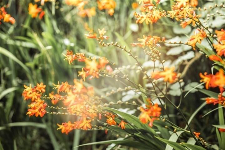 Mênh mông sắc vàng cam của hoa dơn lúa đẹp kiêu sa trên đỉnh Fansipan - Ảnh 2