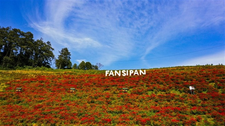 Mênh mông sắc vàng cam của hoa dơn lúa đẹp kiêu sa trên đỉnh Fansipan - Ảnh 7